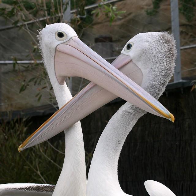 Pelicans - Taronga Park Zoo