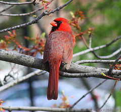 Red Cardinal Taken from My Window, Bayside, Queens NYC