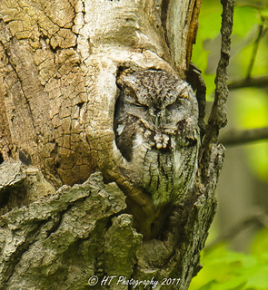 Napping Screech Owl