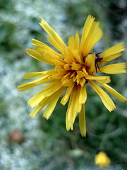 Yellow Flower, after snowfall