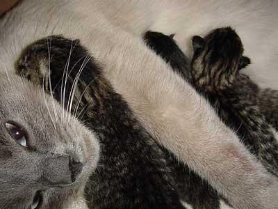 Siamese cat and baby tabby cats