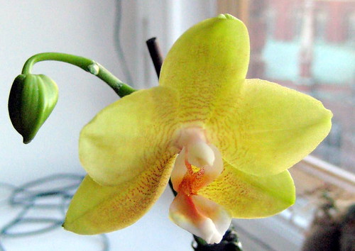 my old and faithful yellow orchid