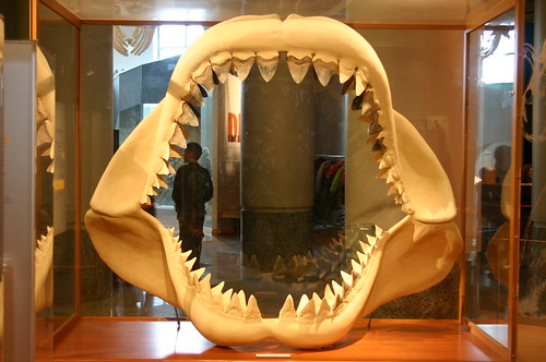 Ancestral Great White Shark Teeth