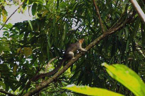 Giant Squirrel (Ratufa affinis sandakanensis)