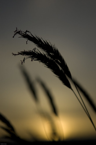sunset grass dof bokeh poulsbo