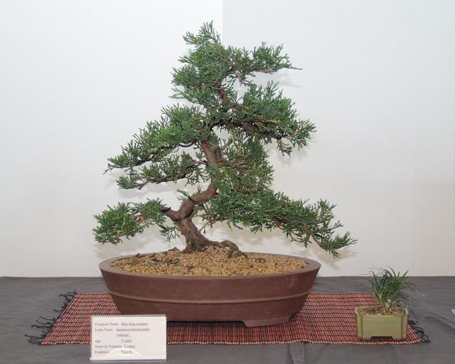 Blue Rug Juniper Bonsai 121