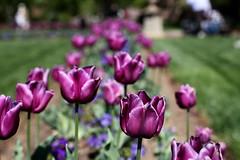 Smithsonian Tulips 2