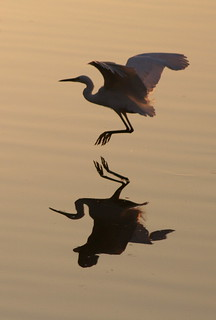 Little Egret in the Autumn Twilight