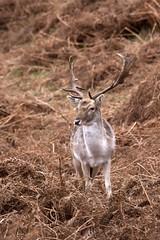 animal, prairie, deer, nature, horn, fauna, white-tailed deer, deer hunting, safari, wildlife,