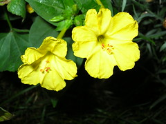 flower, leaf, large-flowered evening primrose , yellow, plant, nature, flora, green, four o'clocks, evening primrose, petal,