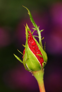 A tightly closed rosebud, full of promise