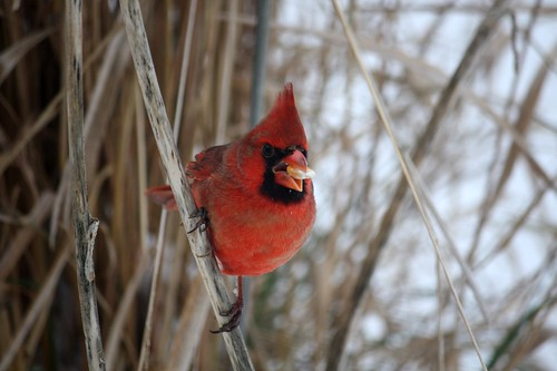 Northern Cardinal by Dana Maddox