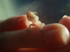 tiny gecko