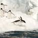 Adelie Penguins await their turn to dive off pack ice _MG_9138 by WildImages