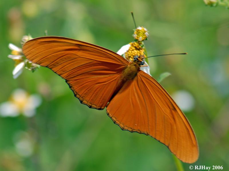 Orange Julia Butterfly (Dryas julia)