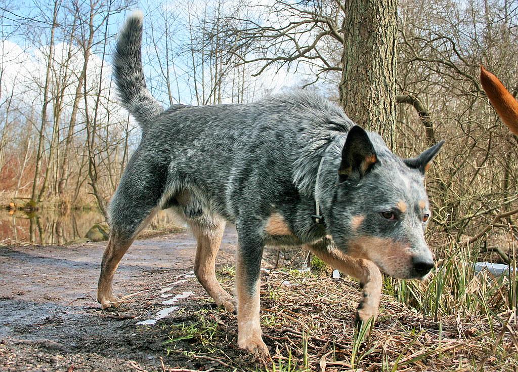 Australian Cattle Dog/Blue Heeler puppy for sale near