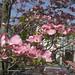 薄紅色の花水木