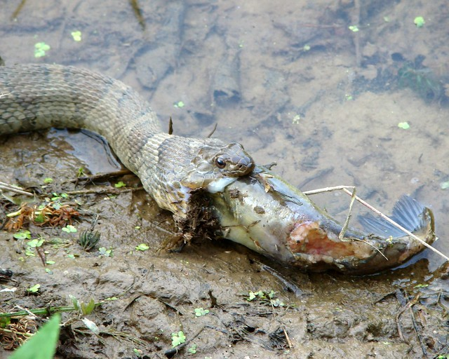 Snake Eat Fish Flickr Photo Sharing