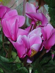 herbaceous plant(0.0), flower(1.0), plant(1.0), cyclamen(1.0), pink(1.0), petal(1.0),