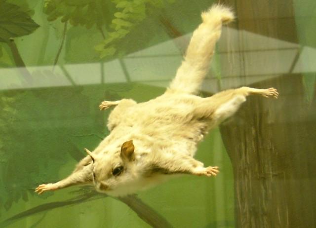 Zwerg-Flughörnchen