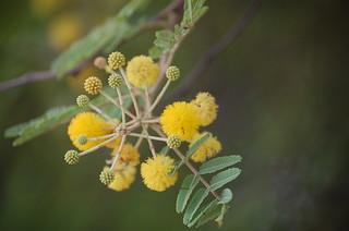 Acacia nilotica flowers