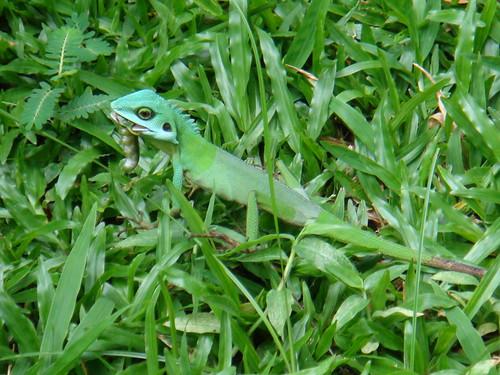 Chua Shuyi - Green Crested Lizard01.jpg