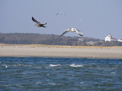 Seagulls at Nauset Inlet