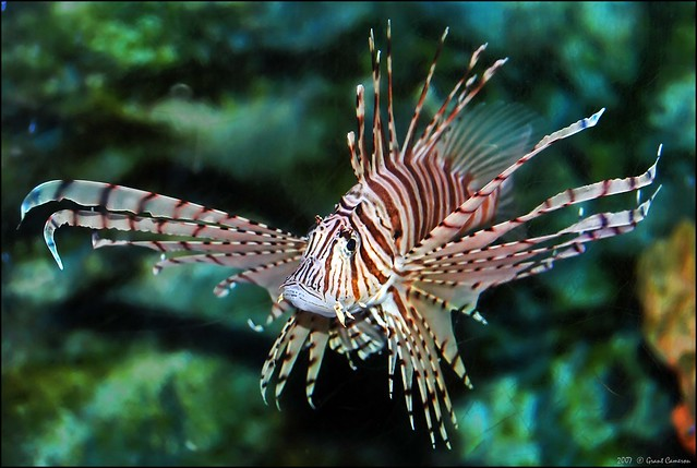 Pterois Volitans, (or red lionfish) . . .