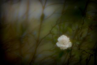 Telephoto rose