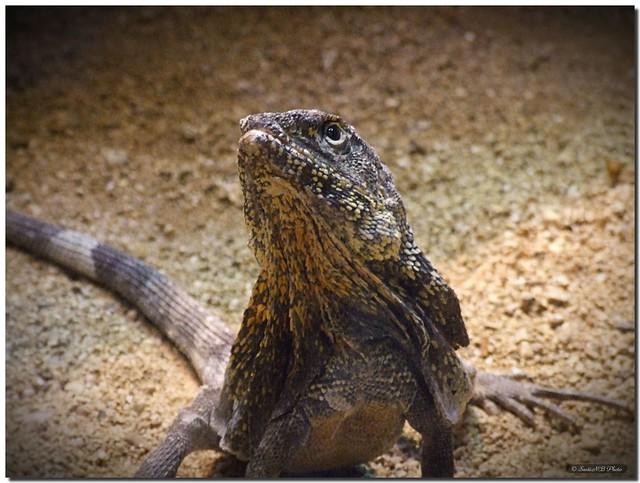 The lizard that swallowed an umbrella / El lagarto que se tragó un paraguas