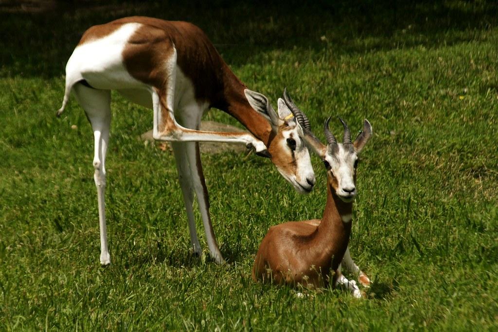 tout neuf 77ef3 7ebda gazelle sneak attack   The gazelle on the left is really abo ...