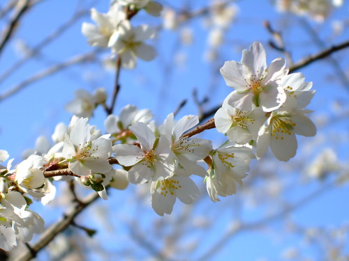 小さいけど桜