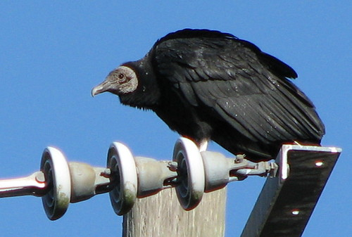 Black Vulture looking very ... vulture-like!