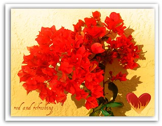 A Sprig of Bougainvillea for You