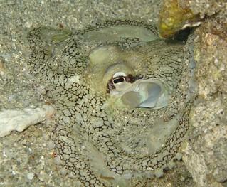 Octopus / 蛸(たこ)
