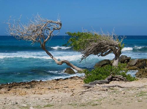 trees winter vacation tree scenic aruba caribbean dividivitree oceanshore impressedbeauty