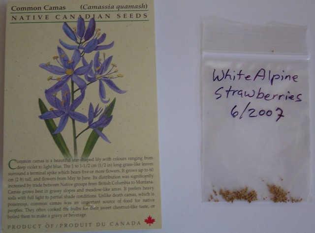 Camassia & alpine strawberry