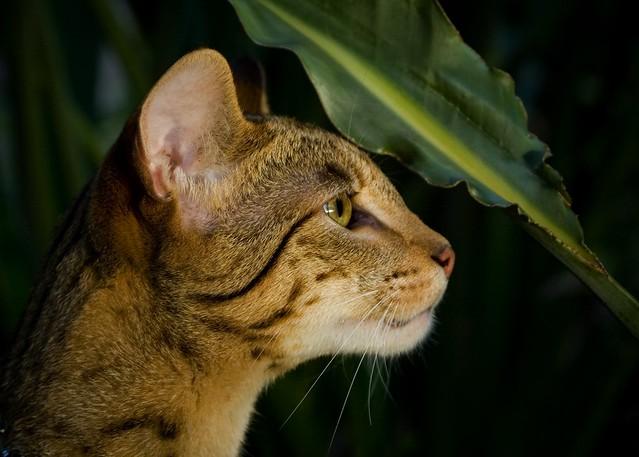 Savannah Domestic Cat For Sale