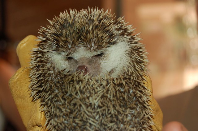 angry hedgehog flickr photo sharing