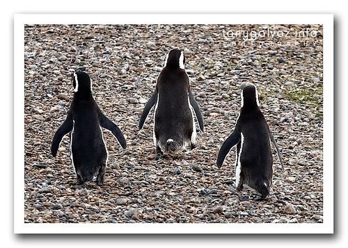 Pingüino de Magallanes / Magellanic Penguin