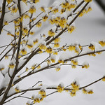 Witch Hazel by shila.wilson, on Flicker