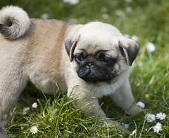tibetan spaniel(0.0), chinese imperial dog(0.0), dog breed(1.0), animal(1.0), puppy(1.0), dog(1.0), pet(1.0), carnivoran(1.0), pug(1.0),