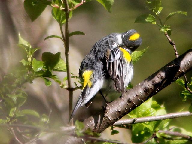 Yellow-rumped Warbler preening 20110506