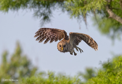 Wet barred owl in flight, lake blue cypress, vero beach, florida
