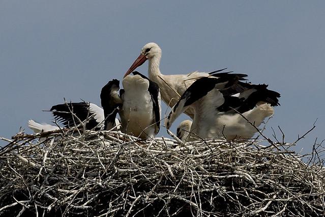 Bociany białe - White Storks (Ciconia ciconia) 25