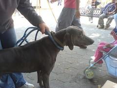Perros Guaimaran