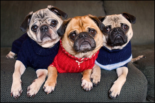 Brotherhood of Pugs