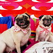 *SMILING PUG* - HAPPY VALENTINE'S DAY, FROM THE SWEETHEART BAMBAM & BUGBABY *-*