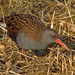 water rail - wet beak @ amwell NR by Graeme J. Smith (britainsbirder.co.uk)