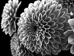 Colourless Chrysanthemums